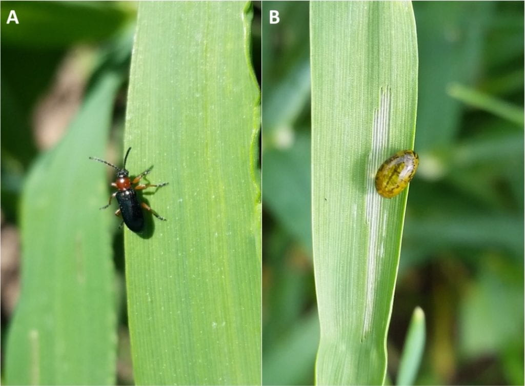 Left: a black beetle with a red middle (thorax), sitting on the leaf of a small grain crop; Right: a yellowish larva sitting on the leaf of a small grains crop