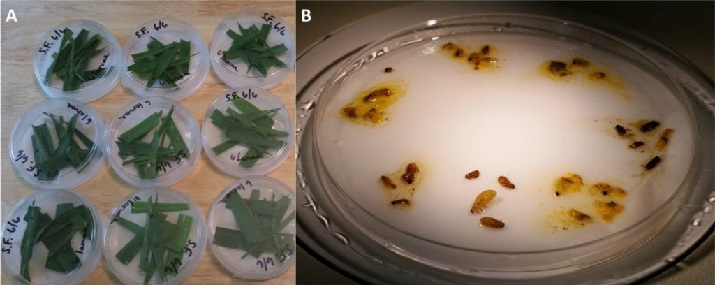 Left: Petri dishes with white filter paper and torn up leaves of oats; Right: Brown and yellow larvae of the cereal leaf beetle (some are squished) on a moist white filter paper in a petri dish
