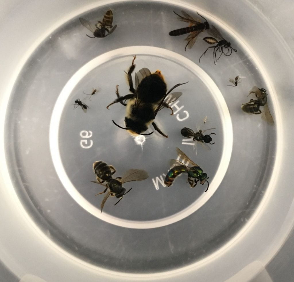 Looking down into a clear plastic cup that contains eleven different bees and wasps, ranging from a large bumble bee to tiny wasps that you can barely see.