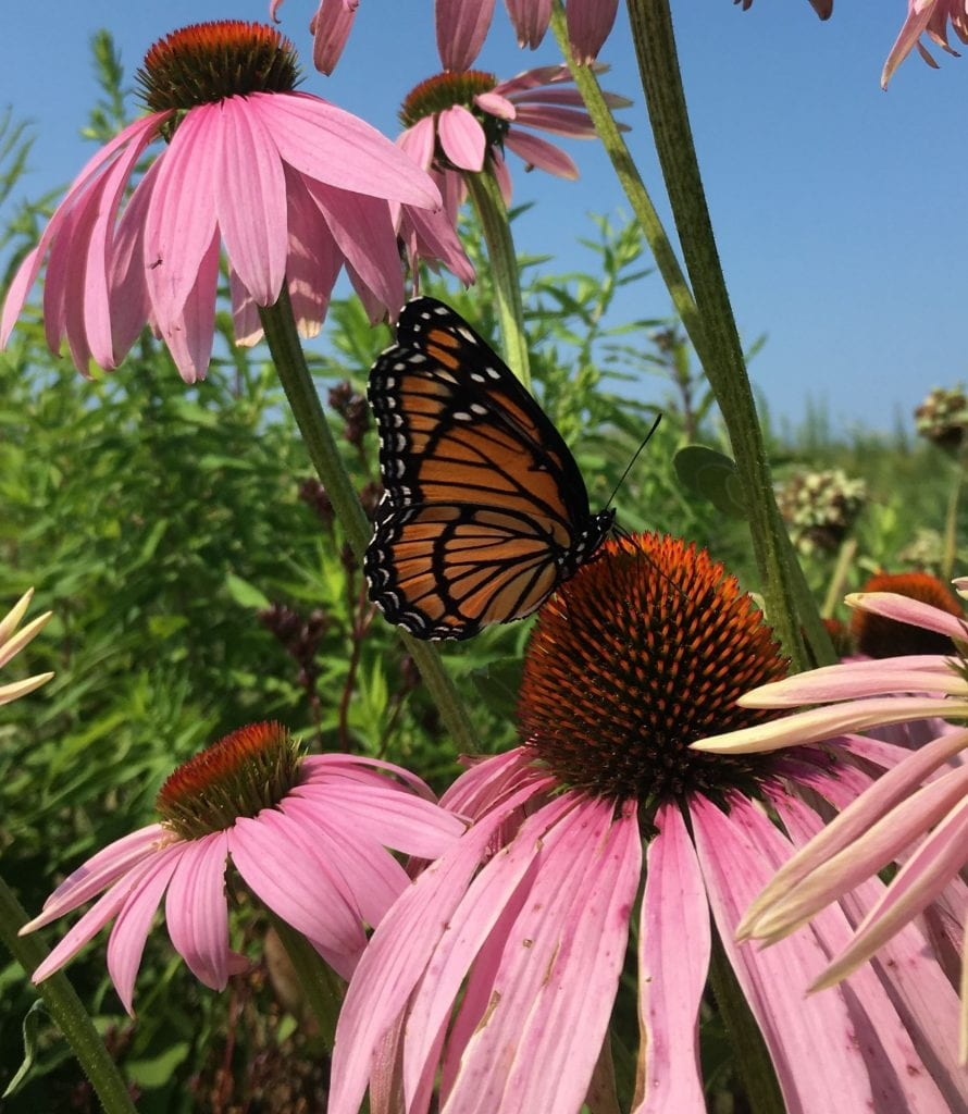 A black and orange striped butterfly visits a daisy-shaped flower with pink petals and an orange cone-shaped center.