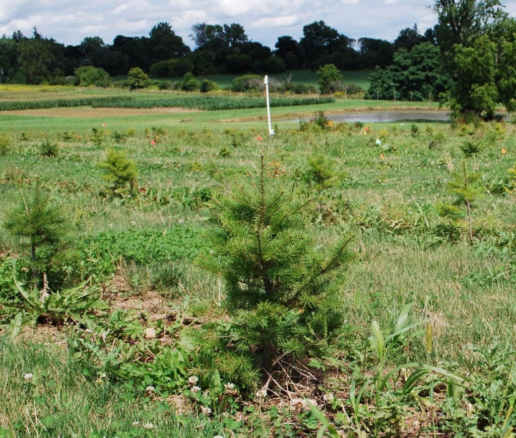 Short Christmas trees, planted in rows with grass in between. A pond, several fields, a line of trees, and a cloudy sky are in the background.