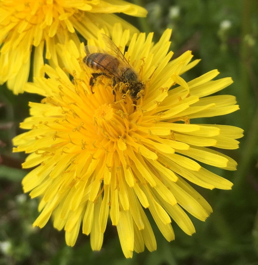 A bee already covered in fine yellow dust looks for nectar and (more) pollen in a dandelion bloom.