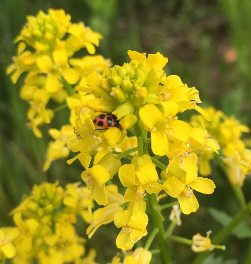 You can see the rear-end of a lady beetle (red body, with black spots) as it searches for pollen and nectar among small, bright yellow flowers.