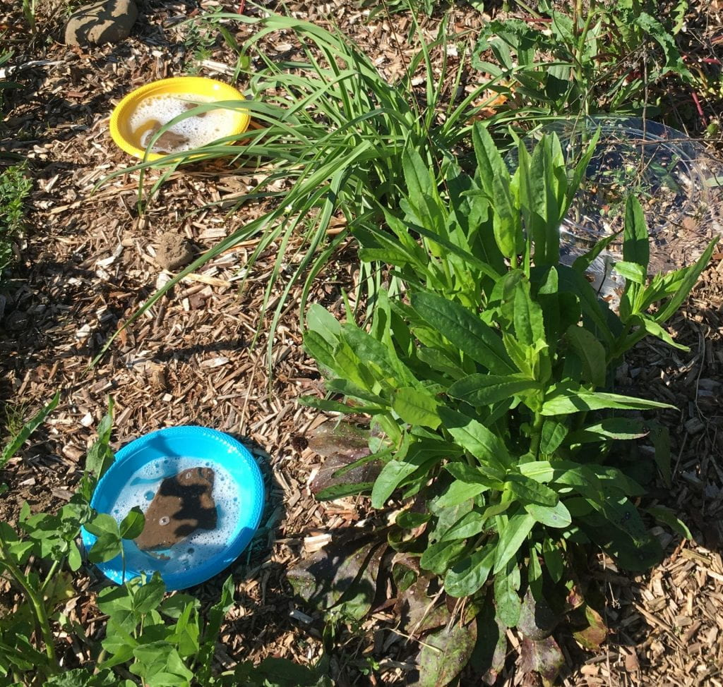 One blue and one yellow bowl filled with soapy water and rocks set on ground covered with wood chip mulch. Several different types of plants are growing nearby.