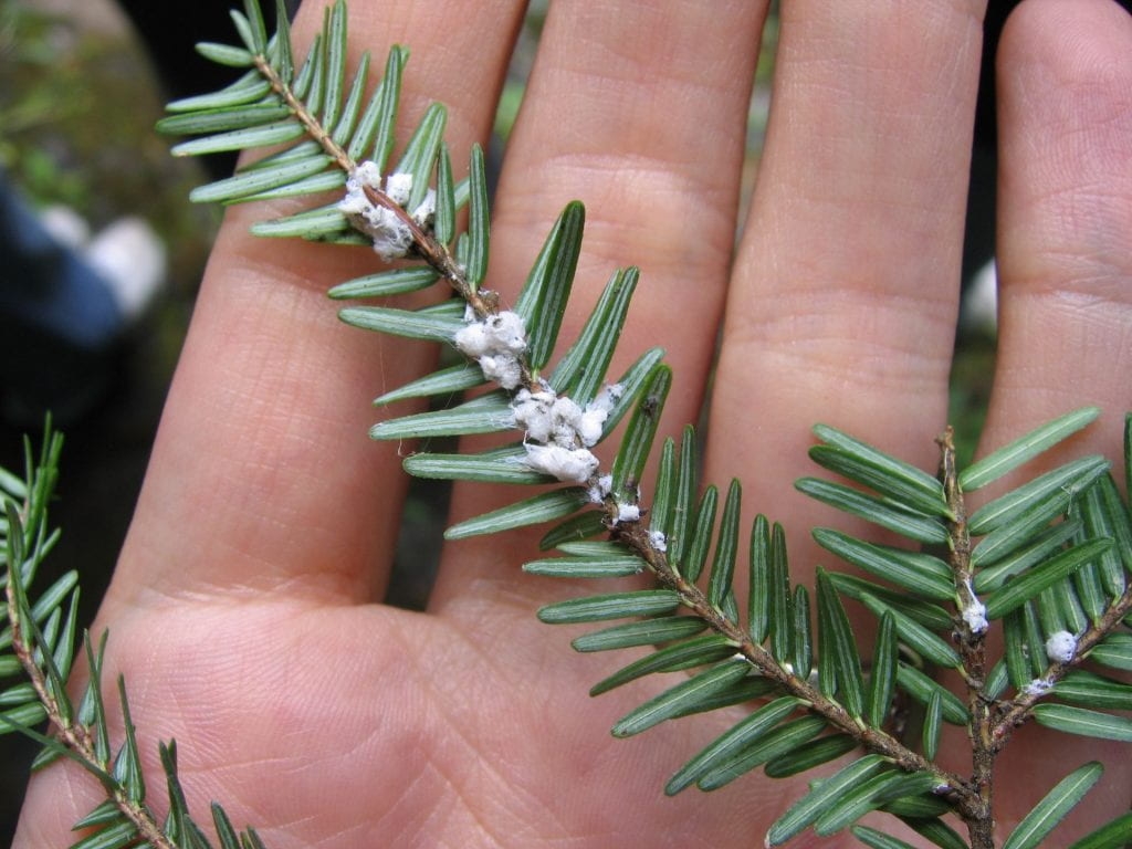 Held against the background of a person's hand, you can see the underside of a hemlock branch. It looks like there are small tufts of white cotton where each needle attaches to the branch.