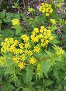 Plant with tiny yellow flowers arranged like Queen Anne's Lace.