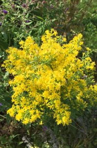 Large clump of small, bright yellow flowers