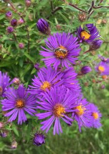 Purple daisy-shaped flowers with yellow centers and very narrow petals. A small bee is visiting one of the flowers