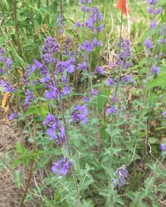 Small purple bell-shaped flowers on stems with frosty-green leaves