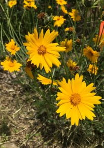 Yellow daisy-shaped flowers with toothed edges