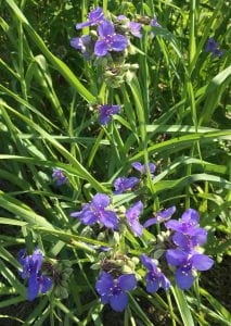 Three-petaled purple flowers growing on plant with grass-like leaves.