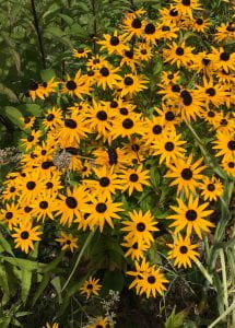 Large clump of daisy shaped flowers with yellow petals and dark brown centers