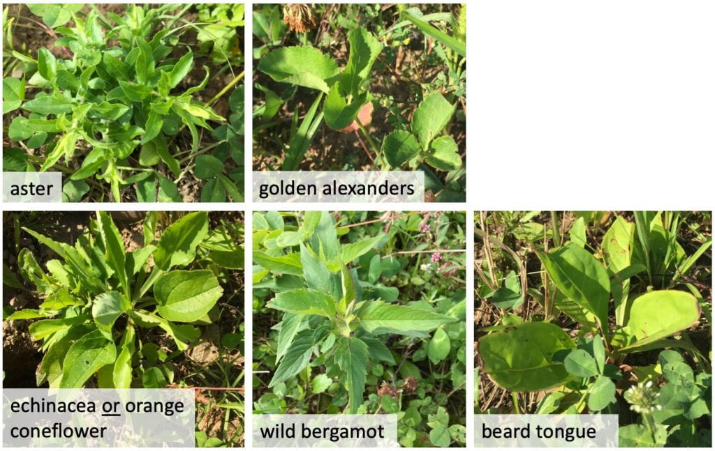 Pictures of seedlings labeled (left to right, top to bottom) aster, golden alexanders, echinacea or orange coneflower, wild bergamot, and beard tongue.