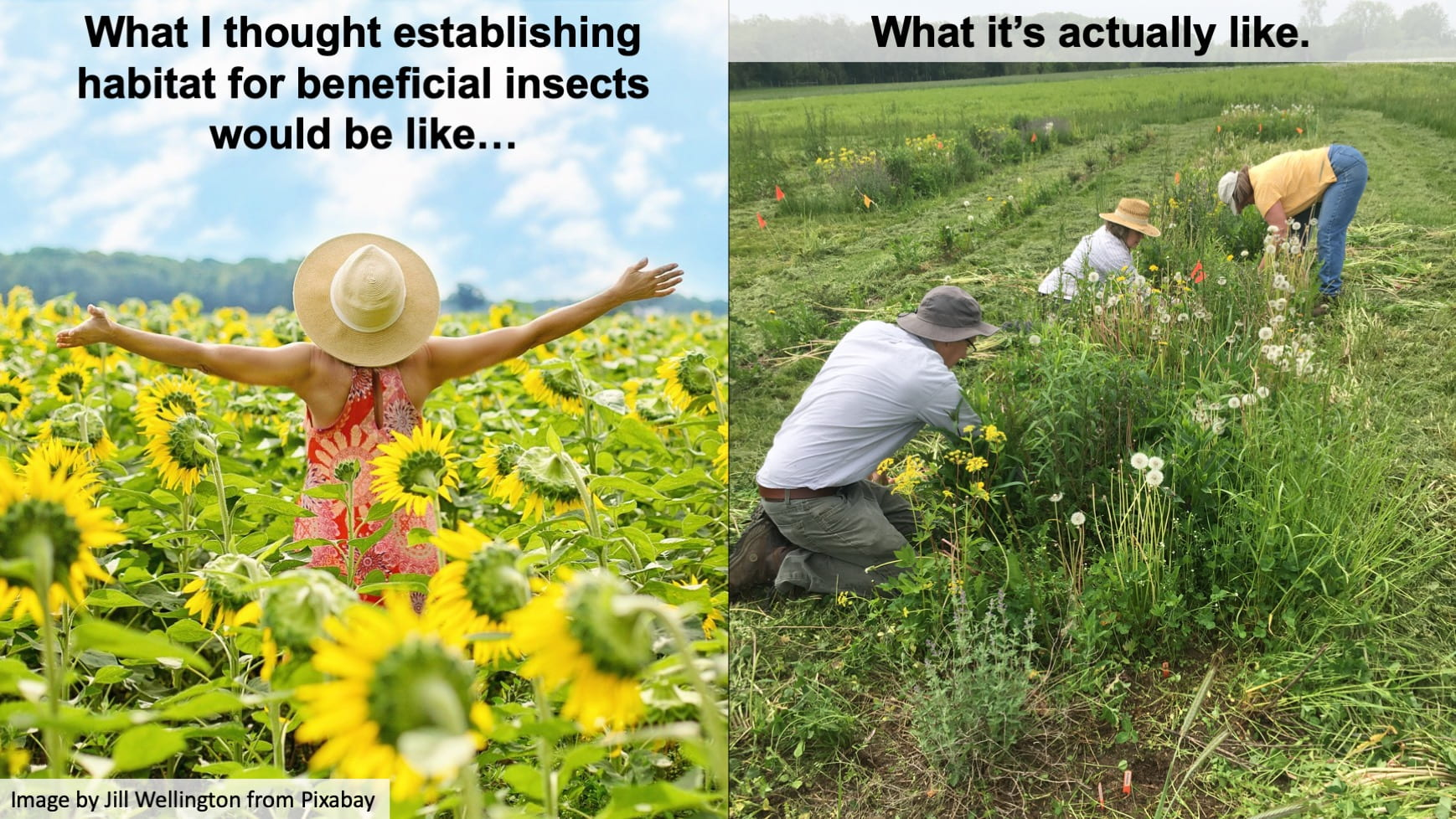 "On the left is a picture of a woman in a sundress and straw hat standing in the middle of a sunny sunflower field with her arms raised in the air. Written at the top of the picture is the title ""What I thought establishing habitat for beneficial insects would be like…"". On the right is a picture of three people, either on their hands and knees or bending over, pulling weeds (including dandelions) that are several feet tall. This picture has the title: ""What it's actually like."""