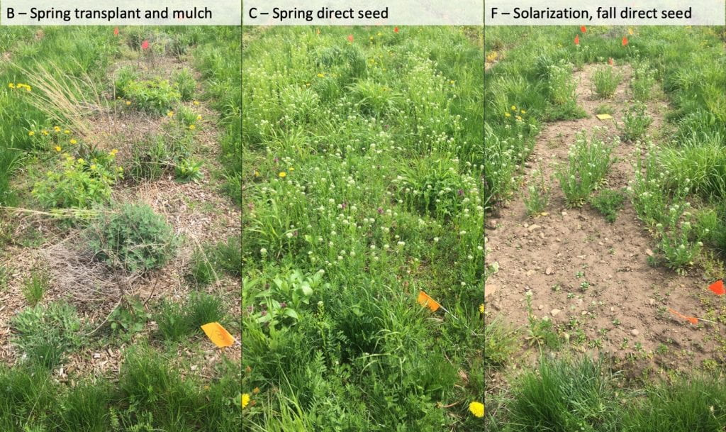 Picture on the left is of treatment B (Spring transplant and mulch) and shows small wildflower plants surrounded by mulch and few weeds. The middle picture shows treatment C (spring direct seed), a weedy plot. The picture on the right shows treatment F (solarization and fall direct seed), where you can still see at least 50% of the plot is bare soil, although many small and a few larger weeds are visible.