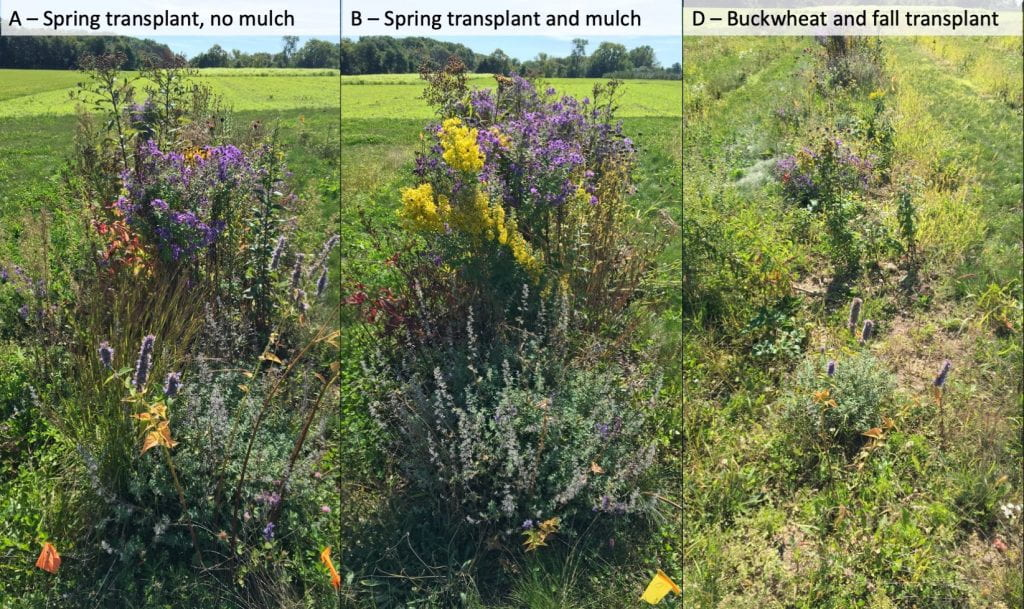 Picture on the left is of treatment A (spring transplant, no mulch) and shows tall wildflower plants with some weeds. The middle picture shows treatment B (Spring transplant and mulch), full of large wildflowers and few weeds. The picture on the right shows treatment D (buckwheat and fall transplant), where the wildflower plants are much smaller, there are more weeds, and some bare ground is visible.