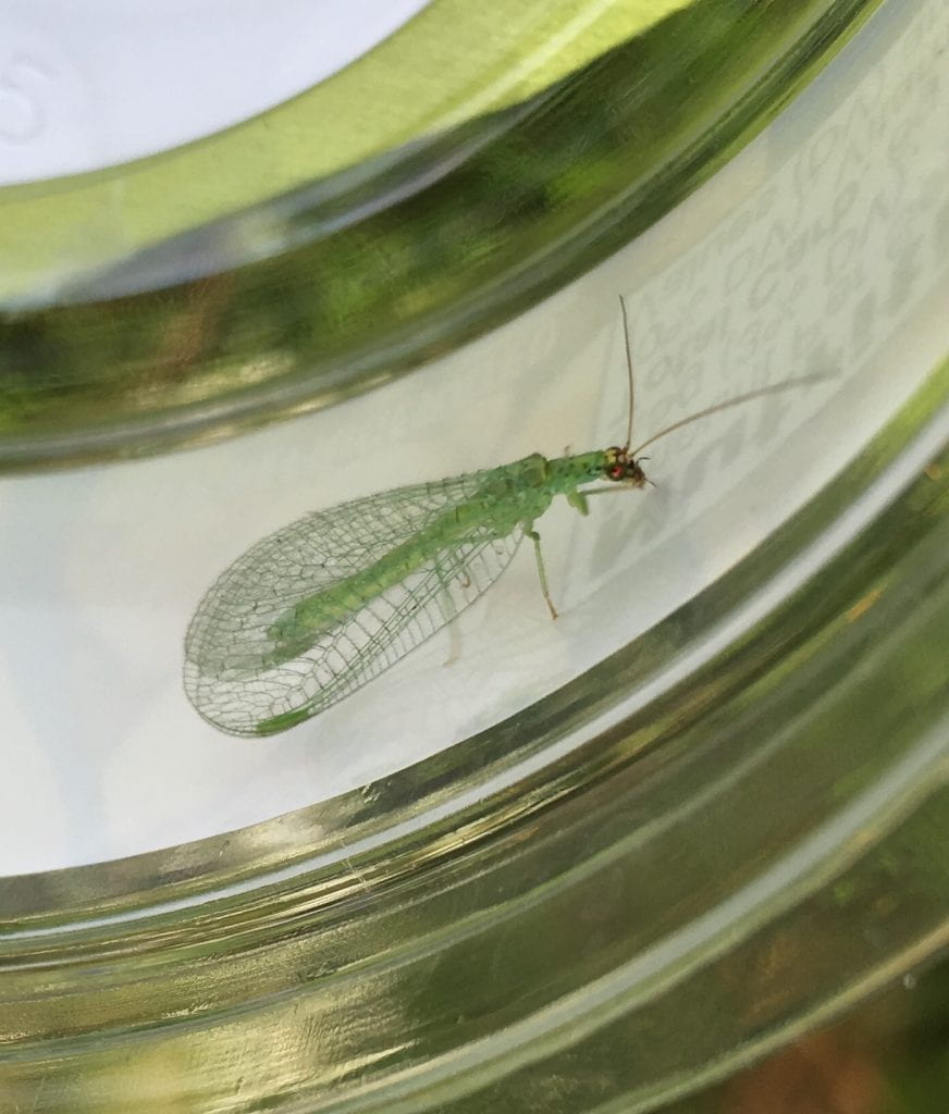 Green insect with lacey wings
