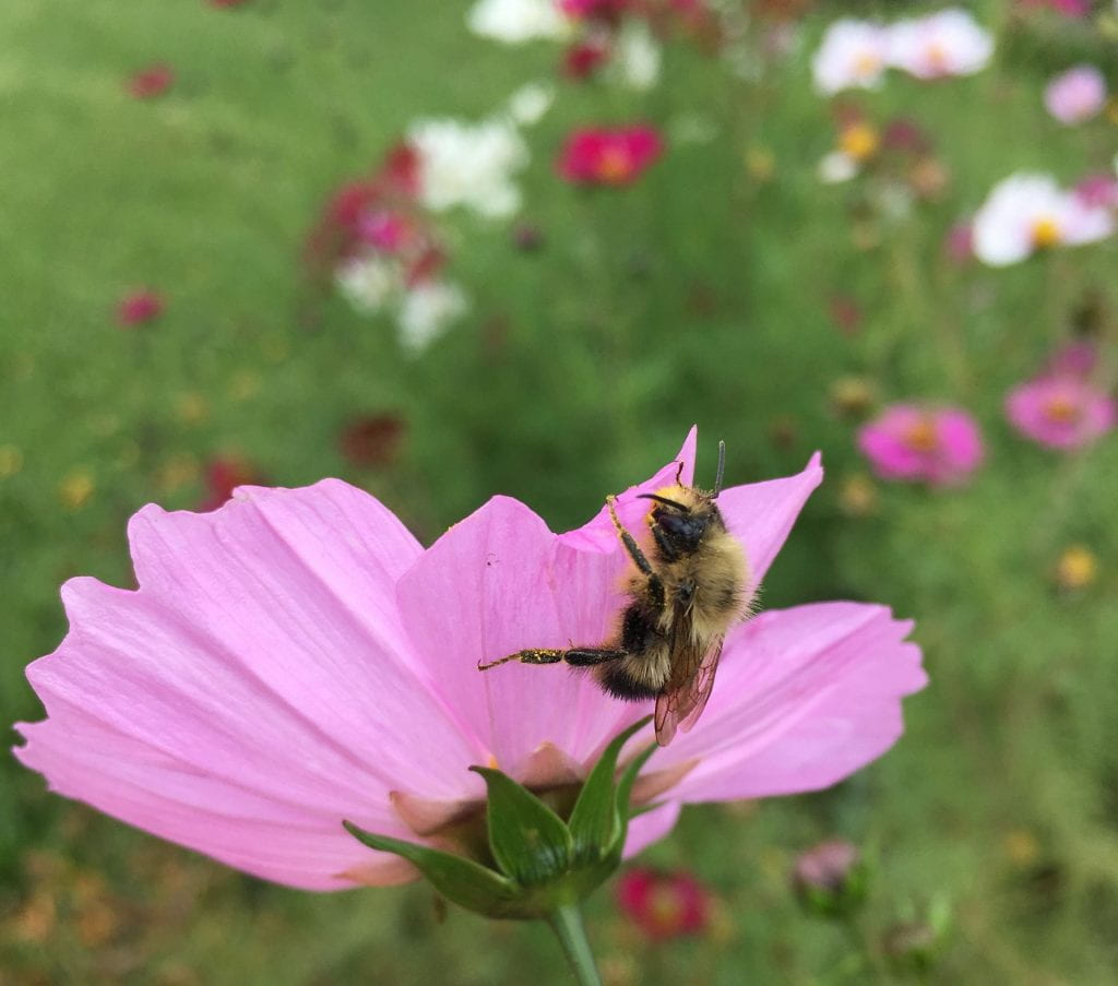 light pink flower with a fuzzy bee crawling on it