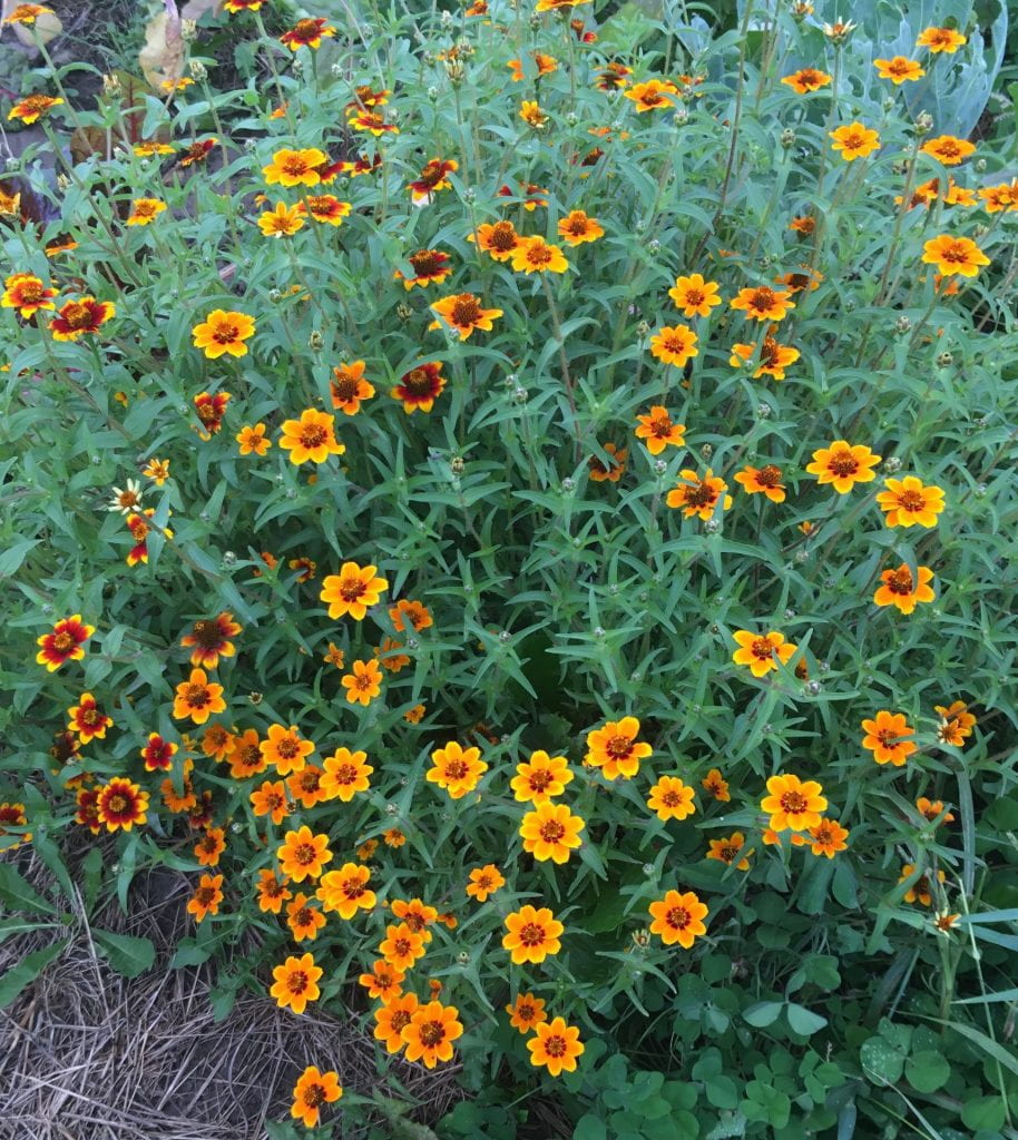Plants growing in a large clump with smaller flowers in combinations of yellow, orange, and red.