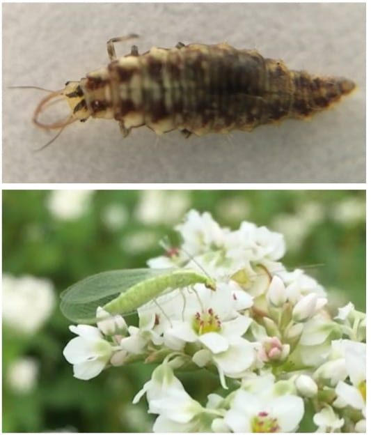 Top picture is a magnified picture of an elongated larval lacewing with prominent pincher-like jaws; bottom picture is a green lacewing feeding on pollen from a white buckwheat flower.