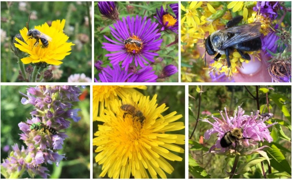 Six pictures of different bees. Some are large like bumble bees or carpenter bees, some are smaller, and one is green.