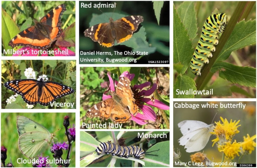 Collage of six different butterflies (Milbert's tortoiseshell, viceroy, clouded sulphur, red admiral (photo by Daniel Herms, The Ohio State University and available on Bugwood.org), cabbage white (photo by Mary C Legg, available on Bugwood.org), and painted lady) and two caterpillars (monarch and swallowtail).