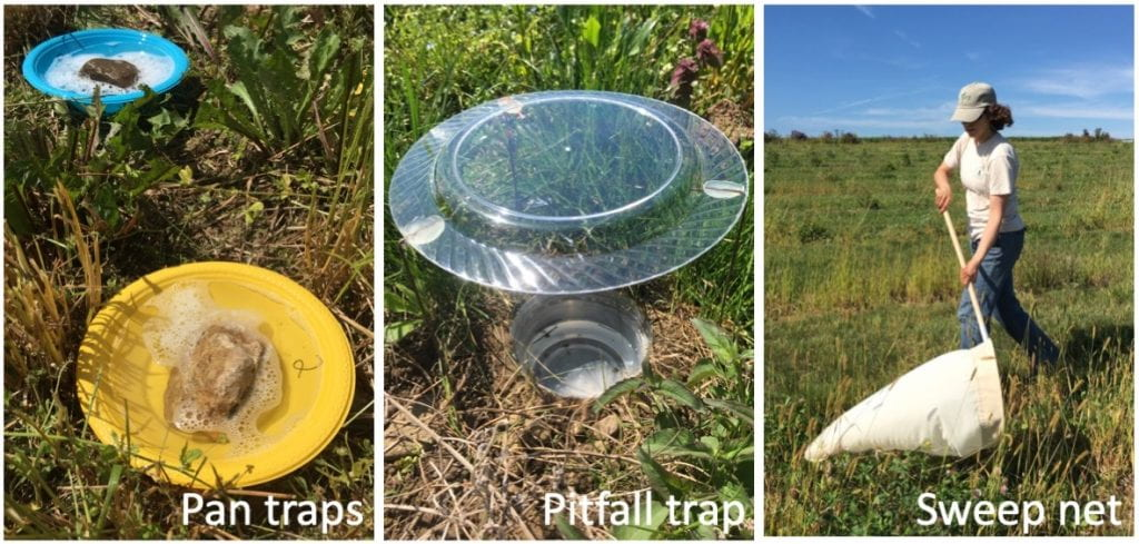 The left picture (pan traps) shows a yellow and a blue plastic bowl sitting amongst grass and weeds. Each contains a rock and is filled with soapy water. The middle picture (pitfall trap) shows a deli cup buried in the ground to its rim and filled with liquid. A clear plastic dinner plate is held above the deli cup by wire legs. The picture on the right (sweep net) shows a woman wearing a t-shirt, jeans and a baseball cap sweeping a large white canvas net just above the ground as she walks through a field.