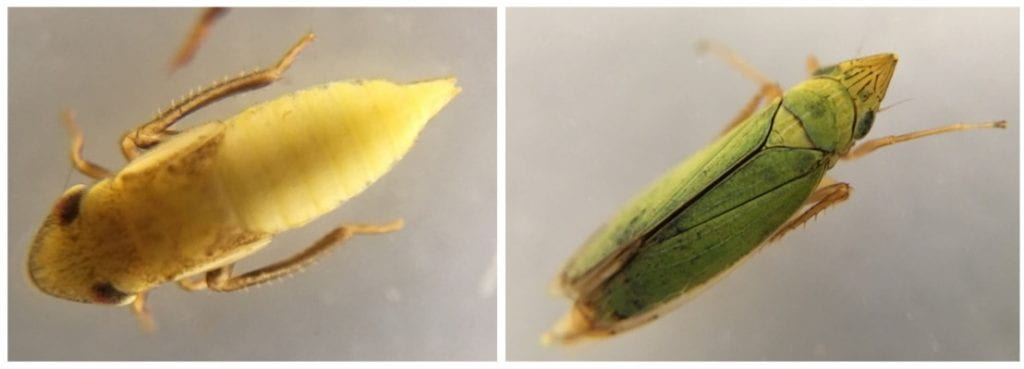 Two different leafhoppers (one yellow and one green) magnified to clearly show their pointy heads and bristled back legs.