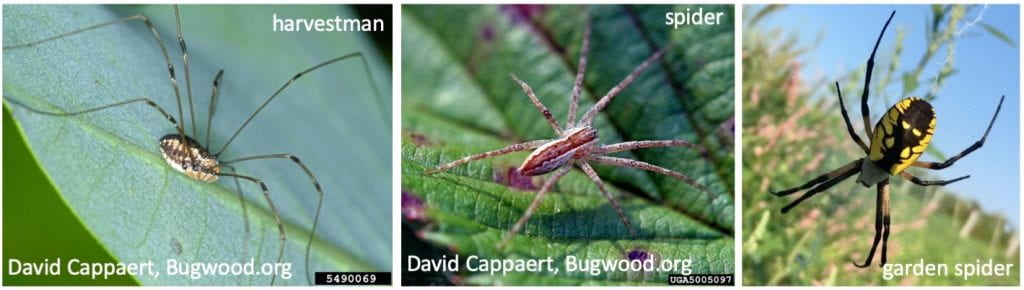 On the left, a harvestman with a plump body lacking distinct segments. In the middle, a spider with two distinct body segments. These two pictures were taken by David Cappaert, and are available on Bugwood.org. On the right, a black and yellow garden spider.