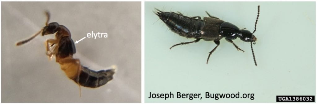 Two pictures of insects. The one on the left has an arrow pointing to the short wing covers visible on its back (labeled 'elytra'). The one on the right is courtesy of Joseph Berger, and can be found at Bugwood.org.