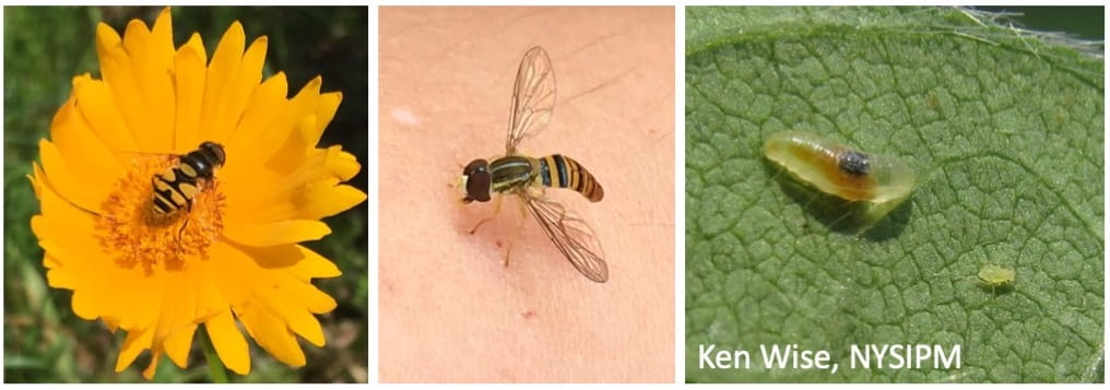 Left: black and yellow hover fly on a bright yellow coreopsis flower; Middle: a different kind of adult hover fly perched on a person's skin; Right: a larval hover fly that looks like a small translucent caterpillar on a leaf near a green aphid. This picture was taken by Ken Wise.