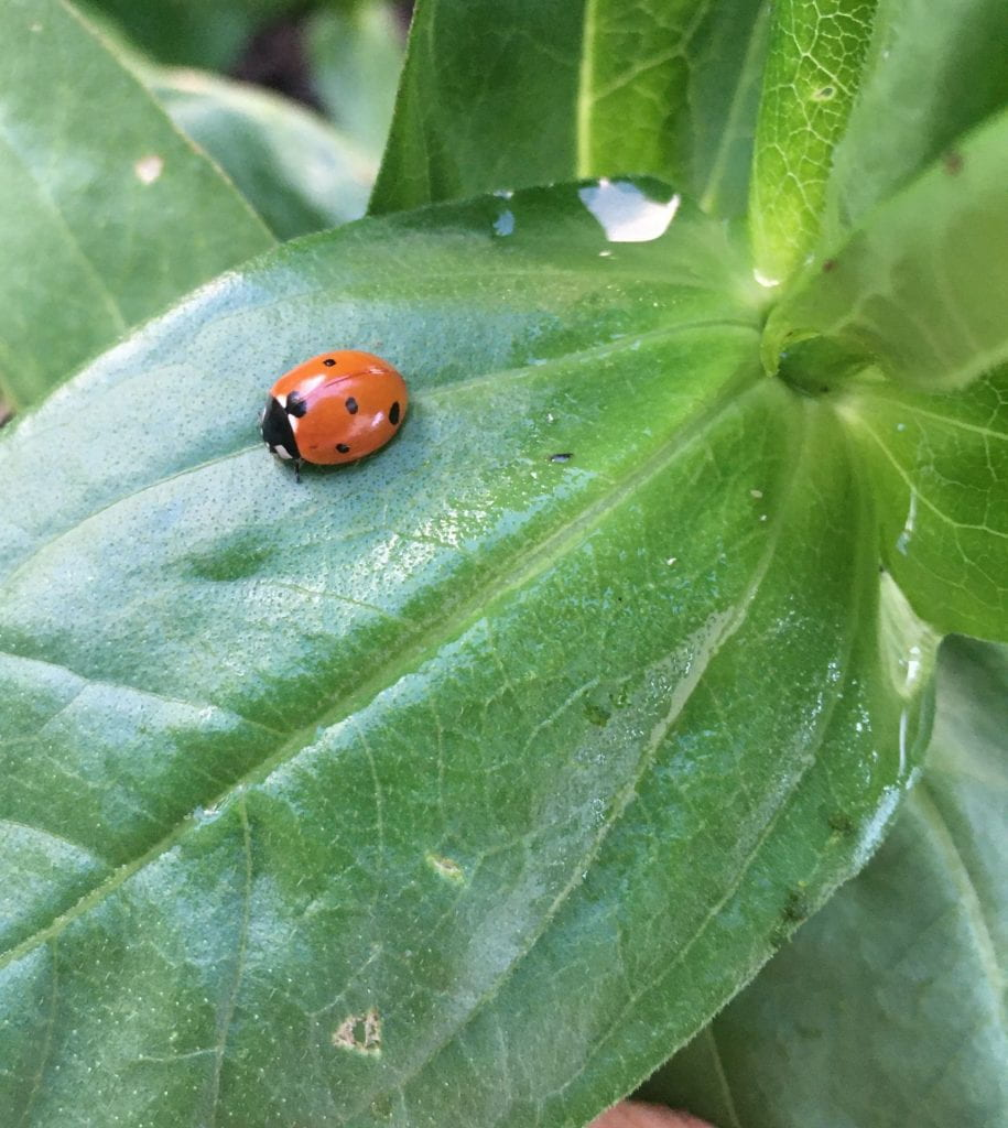 Red and black lady beetle on zinnia leaf