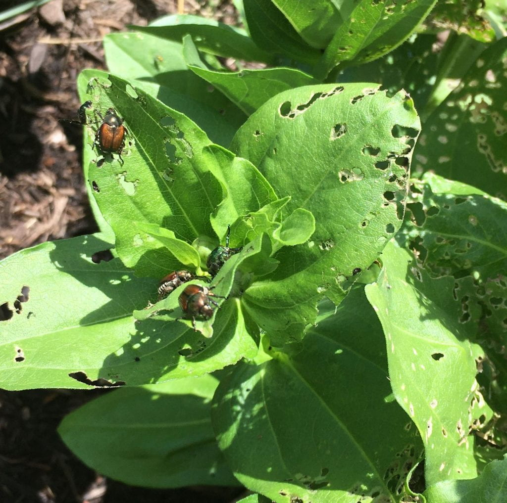 Several Japanese beetles crawling over zinnia leaves with many holes