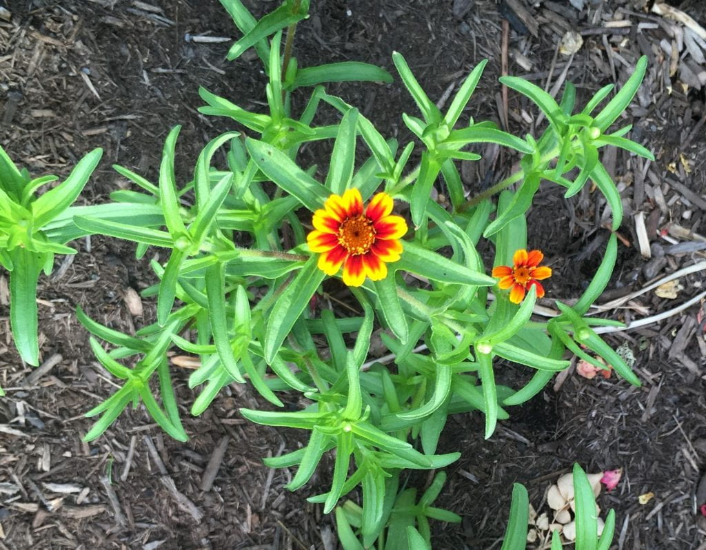 Small yellow and red zinnia flower growing on a plant with small, narrow leaves