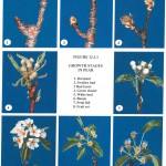 Pear Phenology Stages
