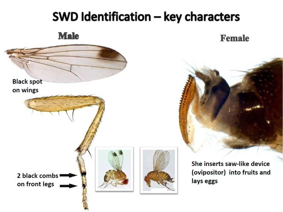 Key features of the SWD, Drosophila suzukii.
