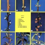 Peach Phenology Stages