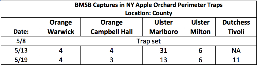 BMSB Captures in NY Apple Orchard Perimeter Traps 5.19