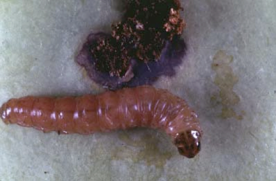 Codling moth larvae and entry site with frass