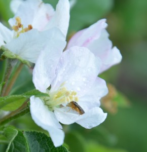 European apple sawfly egg laying during bloom