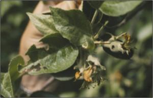 Green fruit worm feeding injury at petal fall
