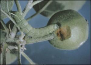 Green fruit worm larvae