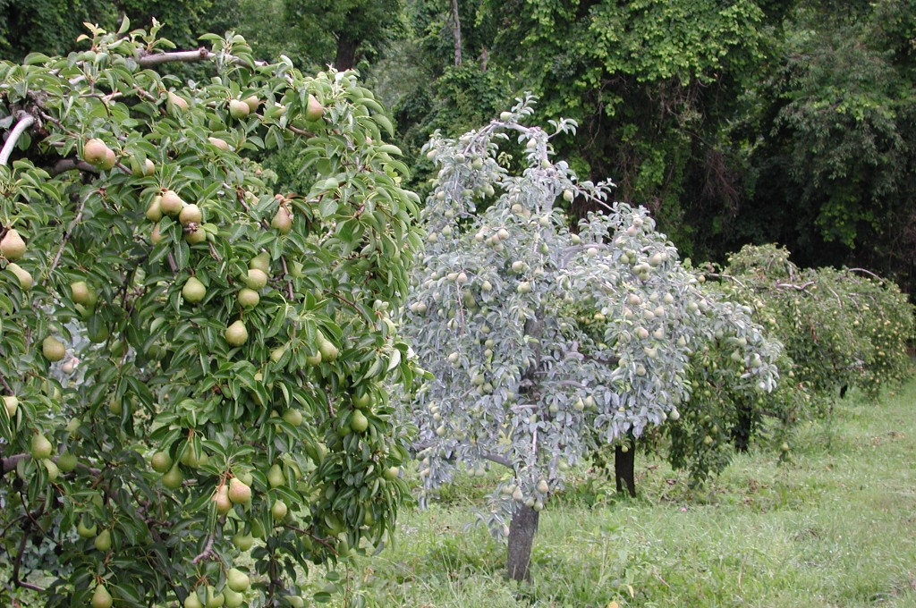Surround on pears