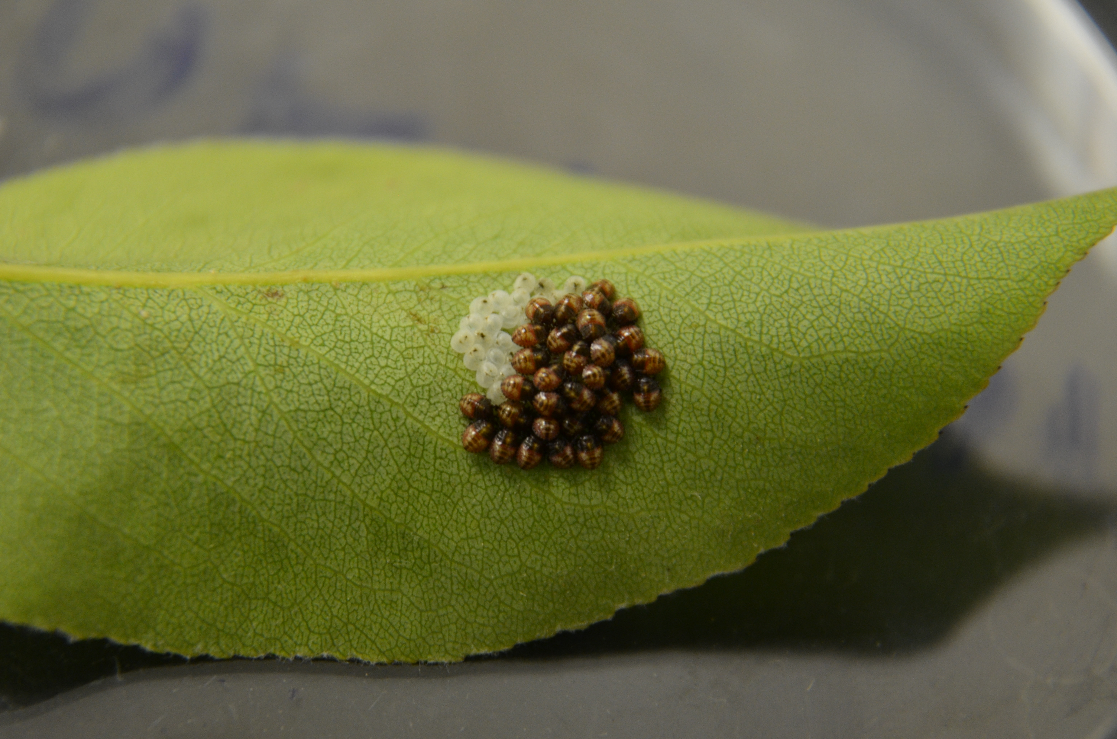 BMSB Eggs on pear leaf; 11 June, 2014
