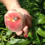BMSB on peach