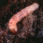 Dogwood Borer larva