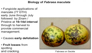 Fabraea damage to fruit
