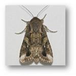 Fall Armyworm Moth (Spodoptera frugiperda) Image- Entomology Dept. Kansas State Univ.