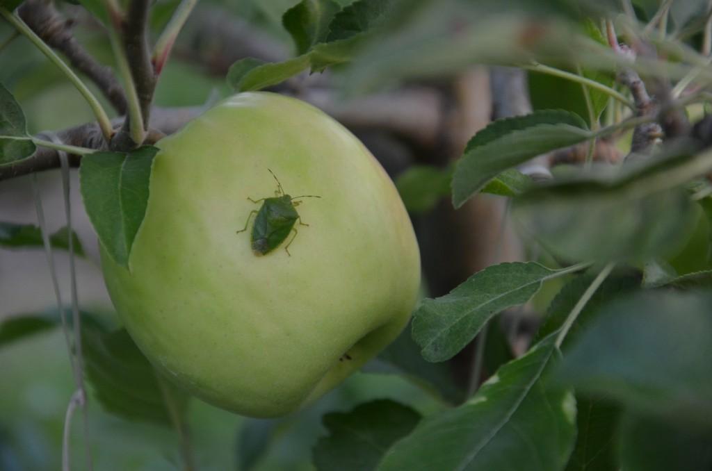 Green Stink Bug on Pink lady near harvest