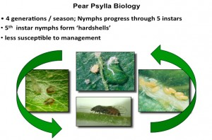 Pear psylla life cycle